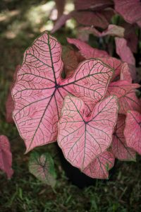 Lake Placid Caladium Festival