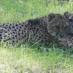 International Cheetah Day at Central Florida Zoo